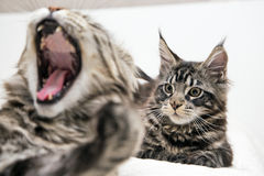 Jogos de Kitten Maine Coon Fotos de Stock