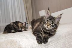 Jogos de Kitten Maine Coon Foto de Stock Royalty Free