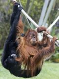 Jogos de um orangotango dos jovens com um Siamang Imagens de Stock Royalty Free