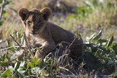 Jogos do filhote de leão na folha Imagem de Stock