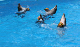 Jogos dos golfinhos com esferas. Fotos de Stock Royalty Free