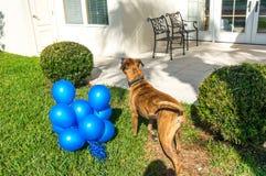 jogos grandes felizes do cão com um balão imagens de stock royalty free