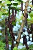 Johannesbroodboom Stock Afbeeldingen