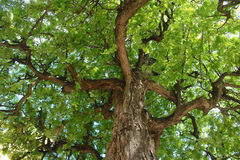 Johannisbrotbaum Treetop Stockfotos
