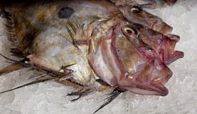 John Dory Royalty Free Stock Photo