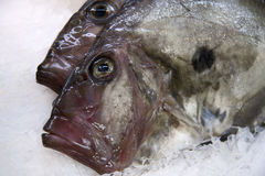 John Dory Royalty Free Stock Image