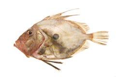 John Dory fish. A John Dory fish isolated on white royalty free stock image