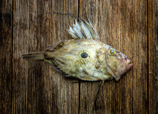 John Dory Royalty Free Stock Images