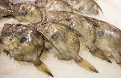 John Dory (Zeus faber)  fishes Royalty Free Stock Photography