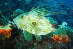 John Dory Royalty Free Stock Photography