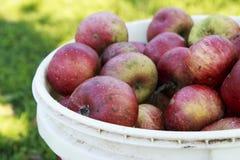 Johnny Apples rosso organico in un secchio di plastica Fotografia Stock Libera da Diritti