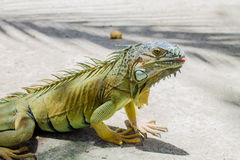 Johnny Cay - Colombia. Beautiful Iguana in Johnny cay, Colombia Royalty Free Stock Photos