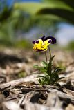 Johnny Jump-up. Vertical image of a johnny jump-up.  Shallow DOF with focus on face of flower Royalty Free Stock Images