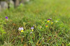 Johnny Jump Ups. Johnny-jump-ups growing in the grass Royalty Free Stock Images