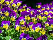Johnny Salto-UPS o Viola Flowers Foto de archivo libre de regalías