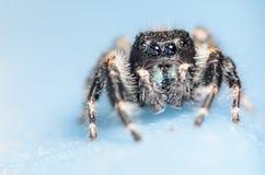 Johnson Jumping Spider negro fotografía de archivo libre de regalías