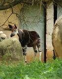 Johnsoni Okapia окапи на ЗООПАРКЕ Претории, Южной Африке Стоковая Фотография