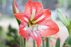 Johnsonii de Hippeastrum Photos libres de droits