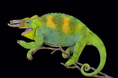 Johnston`s chameleon, Trioceros johnstoni Stock Images