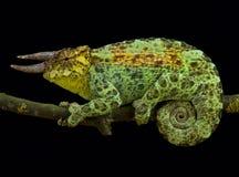 Johnston`s chameleon, Trioceros johnstoni. Is a spectacular lizard species found in the triangle Uganda, Burundi and Rwanda Stock Images