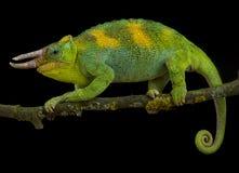 Johnston`s chameleon, Trioceros johnstoni. Is a spectacular lizard species found in the triangle Uganda, Burundi and Rwanda Stock Photography