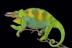 Johnston ` s kameleon, Trioceros johnstoni Obrazy Stock