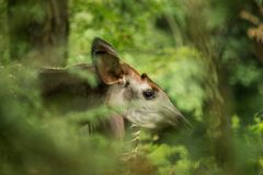 Johnstoni d'Okapia d'okapi, girafe de forêt ou girafe de zèbre, indigène mammifère artiodactyle à la jungle ou forêt tropicale, C photo libre de droits