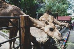 JOHOR, MALAYSIA - FEBRUAR 2019: Besucher ihre Wendung nehmen, welche die Kamele mit ihren Kindern einzieht Eine von Interaktionst lizenzfreie stockfotos
