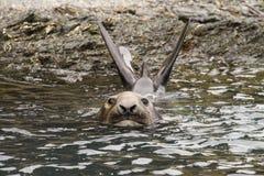 Joint d'éléphant antarctique Image libre de droits