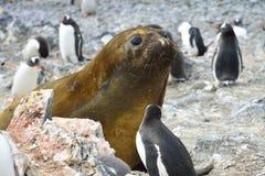 Joint d'éléphant antarctique Images stock