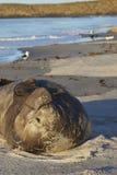Joint d'éléphant du sud dans Falkland Islands Image stock