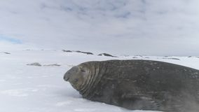 Joint d'éléphant en gros plan se trouvant sur la neige l'antarctique banque de vidéos