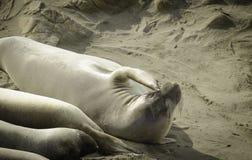 Joint d'éléphant rayant sur la plage Photo stock