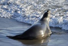 Joint d'éléphant sur la Côte Pacifique images libres de droits
