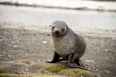 Joint de fourrure antarctique Images libres de droits