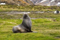 Joint de fourrure antarctique Image stock