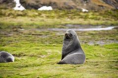 Joint de fourrure antarctique Image libre de droits