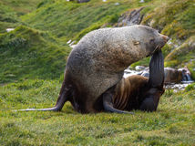 Joint de fourrure antarctique s'étendant sur l'herbe dans Georgia Antarctica du sud Image stock
