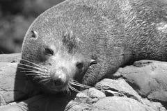 Joint de fourrure du Nouvelle-Zélande Image libre de droits