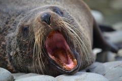 Joint de fourrure du Nouvelle-Zélande dans Kaikoura images libres de droits