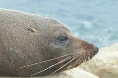 Joint de fourrure du Nouvelle-Zélande Images stock