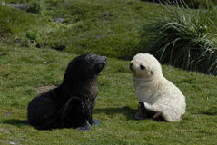 Joint de fourrure noir et blanc Images libres de droits
