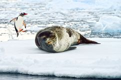 Joint de léopard et pingouin antarctiques de Gentoo Image stock