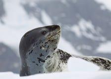 Joint de léopard Photographie stock libre de droits