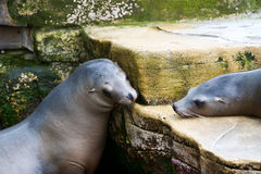 Joint de Pinniped- Images stock