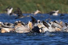 Joint fishing of white pelicans and cormorants in the blue water royalty free stock photos