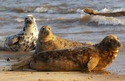 Joint gris atlantique sur la plage image libre de droits