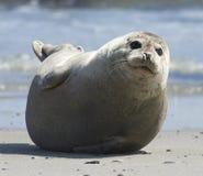 Joint gris de bébé avançant à la plage à la dune, helgoland, Allemagne Photo stock