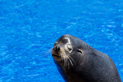 Joint marin sur un fond de l'eau bleue Photo libre de droits
