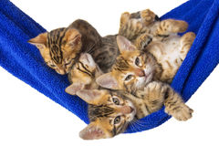 Joint rest furry beasts. Four small kittens Bengal are in a blue towel Stock Photography